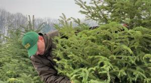 Romsilva oferă spre vânzare peste 40 de mii de Pomi de Crăciun în perioada sărbătorilor de iarnă